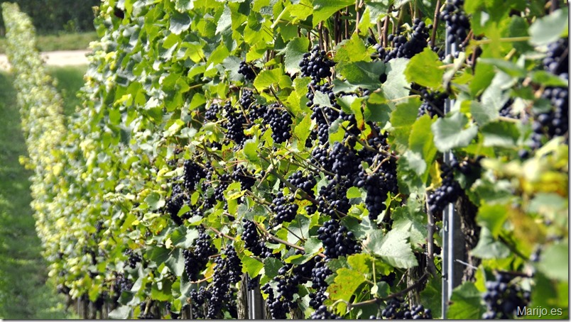 Ribera del Duero lanza un nuevo sistema de comunicación directa con sus viticultores